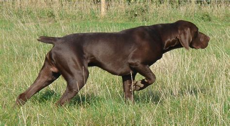 About Dog German Shorthaired Pointer: Basics of German