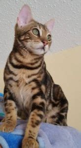 How To Properly Introduce A New Bengal Cat
