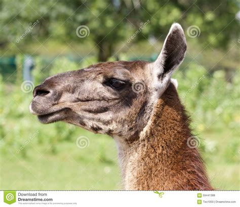 Beautiful Lama Portrait Stock Image Cartoondealercom