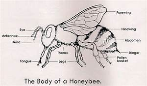 Honey Bee Anatomy Poster