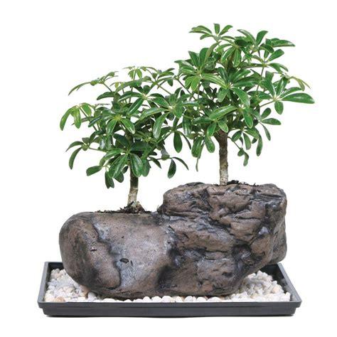 brussels bonsai dwarf hawaiian umbrella tree  rock