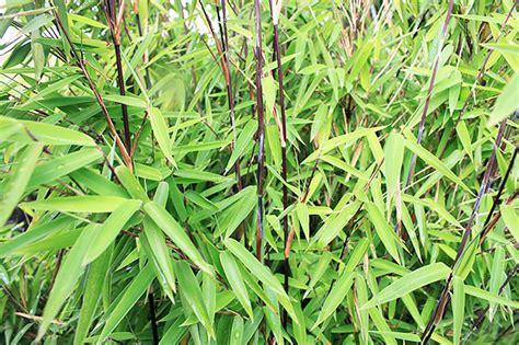 plantation bambou en pot le bambou non tra 231 ant les vari 233 t 233 s des conseils de plantation
