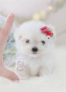 TeaCups Puppies Maltese Available | Teacups, Puppies ...