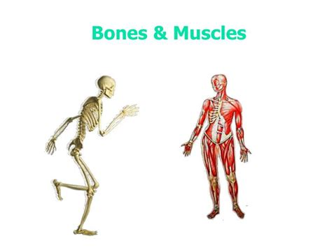 Similarly, the muscles that combine with the skeleton to form a perfect human body has some amazing facts related to it. PPT - Bones & Muscles PowerPoint Presentation, free download - ID:3262324