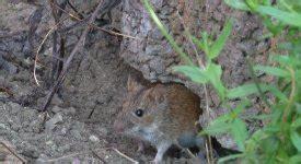 Über Mäuse Im Garten Altesgartenwissende