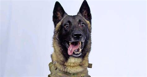 dit  de hond die op al baghdadi jaagde buitenland telegraafnl