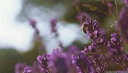 Lavender Francaise Suite Miracle Tea
