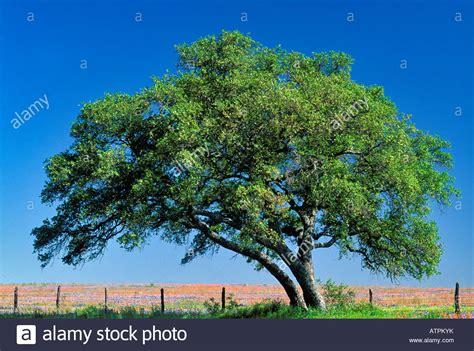 Solitary Live Oak Tree On Fence Row With Field Of Blue