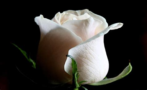 white rose weneedfun