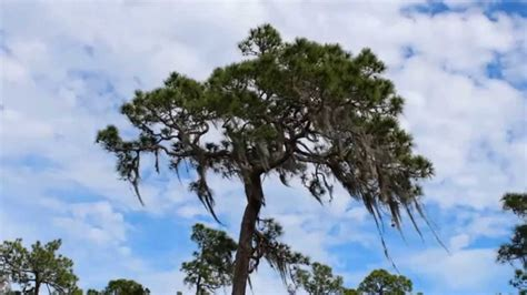 Image result for pictures of georgia pines swaying