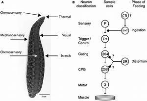Pics For > Hirudo Medicinalis Anatomy