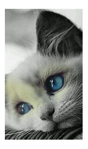 White cat with blue eyes HD wallpaper - backiee