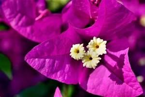 Bougainvillea Blüht Nicht : ist die bougainvillea winterhart so pflegen sie ihre ~ Lizthompson.info Haus und Dekorationen