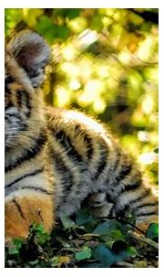 Tiger Cubs Wallpapers | HD Wallpapers (High Definition ...
