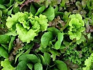 Buy Lettuce Seeds