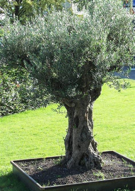 Olivenbäume Im Garten, Ölbaum Im Pflanzkübel