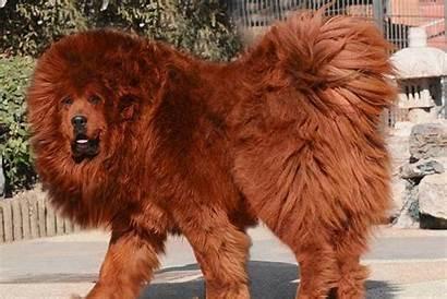 Mastiff Tibetan Sau Caine Leu Caini Mai