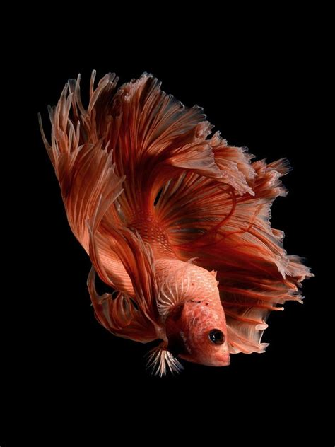 best images about you betta work it on 17 best images about fish on black 17
