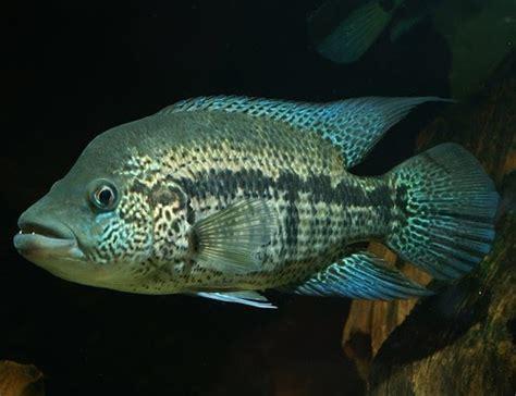 wolf cichlid parachromis dovii guapote rainbow bass