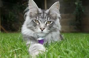 Katzen Fernhalten Von Möbeln : tipps f r die erziehung einer maine coon katze ~ Sanjose-hotels-ca.com Haus und Dekorationen