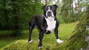 American-Bulldog-wallpaper-1366x768 - 1366x768