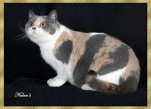 british shorthair dilute calico wallpapers - DriverLayer ...