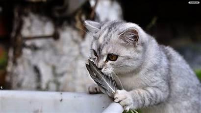 Cat Desktop Wallpapers Cats Gray Wallpapersafari