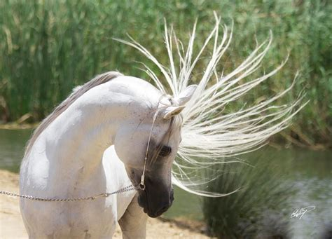 horse fastest breeds inherent purest arab animal horses