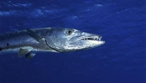 barracuda facts animals momme