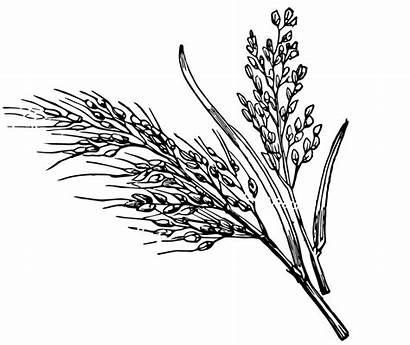 Rice Plant Clipart Sketch Drawing Paddy Coloring