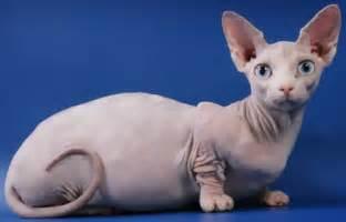 bambino cat 6 strange breeds of hairless cats featured creature