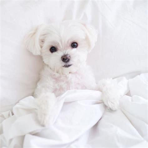 Hypoallergenic Dogs That Dont Shed Much by 25 Best Ideas About Hypoallergenic Breed On