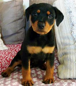 Nahla the Rottweiler | Puppies | Daily Puppy
