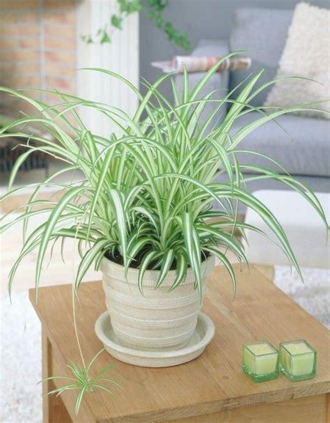 Zimmerpflanze Rot Grüne Blätter by Zimmerpflanzen Die Mit Wenig Licht Gut Auskommen