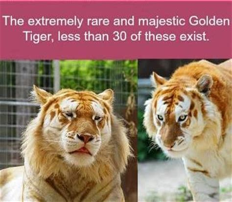 Rare Majestic Golden Tiger Good Know