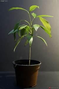 Comment Faire Germer Une Graine : semer un noyau de litchi ~ Melissatoandfro.com Idées de Décoration