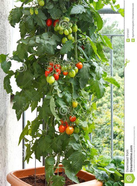 plant de tomate en pot tomates de balcon de pot de plante de tomate photo stock image 67315027