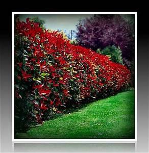 Arbuste Persistant Croissance Rapide : la plante du jour le photinia le jardin de lili ~ Premium-room.com Idées de Décoration
