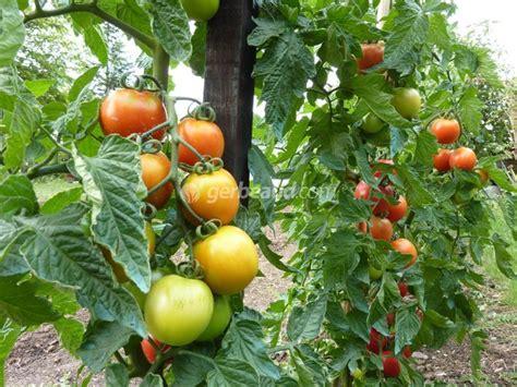 cuisine a et z tomate conseils de culture et plantation