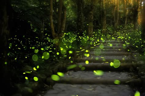 Details About The Synchronous Elkmont Fireflies Event In