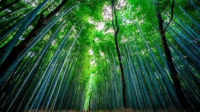 Bamboo Forest Trees Background Widescreen Bottom