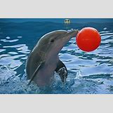 Bottlenose Dolphin Playing With A Ball | 720 x 480 jpeg 133kB