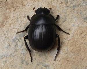 The Mysterious Scarab Beetles  Two New Species Of The
