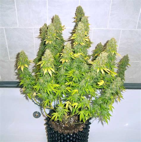 How To Grow Dense Cannabis Buds