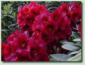 Rhododendron Blüht Nicht : probleme bei rhododendron ~ Frokenaadalensverden.com Haus und Dekorationen