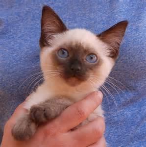 baby cats for adoption nevada spca animal rescue paladin a baby who likes to