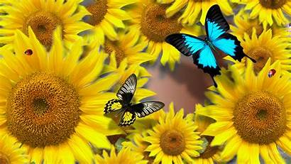 Bright Sunny Wallpapers Flowers Butterflies Sunflowers Summer