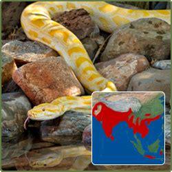 amelanistic burmese python melanie