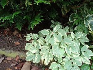 Couvre Sol Vivace : plantes vivaces couvre sol page 13 au jardin forum ~ Premium-room.com Idées de Décoration