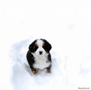 bernese mountain dog gifs | WiffleGif